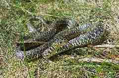 Couleuvre-verte-et-jaune